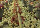 Falta de combustível prejudica 90% das avícolas de PE e animais começam a morrer