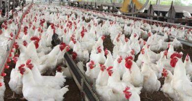 Custo do frango atinge terceiro maior nível da história