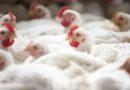 Demanda interna e externa cresce e impulsiona mercado de frango